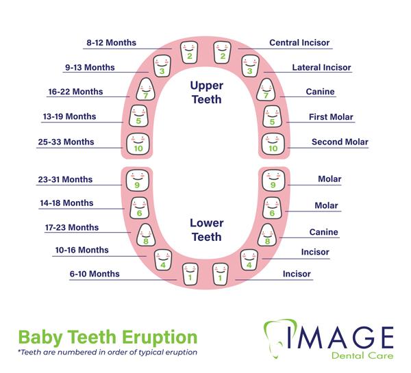 baby teeth eruption graph